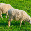 Sheeps on a pasture — Stock Photo