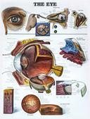 Auge-lernprogramm — Stockfoto