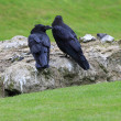 RAVENS. TOWER OF LONDON — Stock Photo