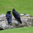 Stock Photo: RAVENS. TOWER OF LONDON