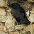 Tower of London Ravens. — Stock Photo #18584203