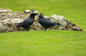 Tower of London Ravens. — Stock Photo