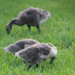 Stock Photo: CANADIAN BABY GOOSE