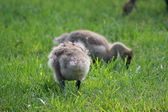 CANADIAN BABY GOOSE — Stock Photo