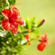 Stock Photo: Red hibiscus flower