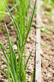 Spring green onions are sprouts — Foto Stock
