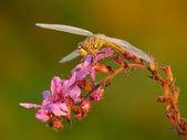 Ważka na różowy kwiat. — Zdjęcie stockowe