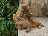 Jouant les singes. — Photo