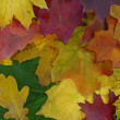 Autumn colored leaves. — Stock Photo