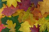 Sonbahar yaprakları renkli. — Stok fotoğraf