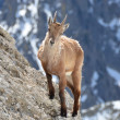 Ibex in a rock - Stock Photo