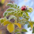 Foto Stock: Frosty flower briar