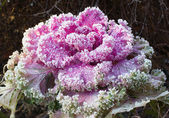 Inflorescence ornamental cabbage — Stock Photo