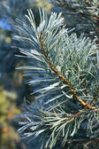 Bright pine branches — Stock Photo