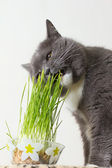 Cat eats green shoots — ストック写真