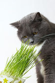 Cat sniffs green shoots — Stock Photo