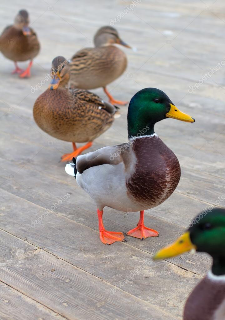 A flock of ducks on a wooden platform in anticipation of food — Stock Photo #16925529