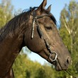 Stock Photo: Black horse