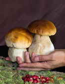 Beautiful legs white mushrooms — Stock Photo
