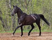 Running the black horse — Stock Photo