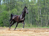 Black horse in motion — Fotografia Stock
