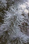 сосновые ветви — Стоковое фото
