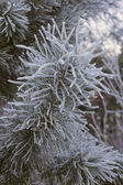 Pine grenar — Stockfoto