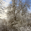 Branching tree covered with snow - Stock Photo