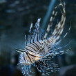 Pterois volitans - Stock Photo