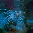 Pterois volitans or sea devil - Stock Photo