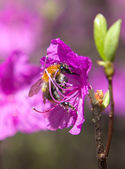 Bumblebee on a flower wild rosemary — Стоковое фото