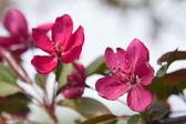 розовые цветы яблони — Стоковое фото