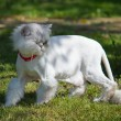 Stock Photo: Cropped white Persicat