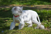 Cropped white Persian cat — ストック写真