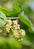 Flowering currant — Stock Photo