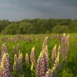 Landscape with  lupine — Stock Photo