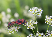 Graphosoma lineatum, grafozoma striped — Stock Photo