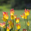 Stock Photo: Yellow tulips Shrub
