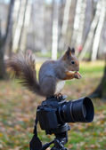 Squirrel and the camera — Fotografia Stock