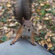 Squirrel in the autumn forest — Stock Photo #34270759