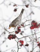 Thrush Fieldfare — Stock Photo