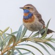 Stock Photo: Bluethroat - Luscinisvecica