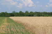 Rye field which have partially mowing — Stock Photo