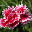 Carnation — Stock Photo #17179319