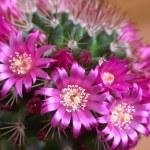 Cactus flowers — Stock Photo #17179345