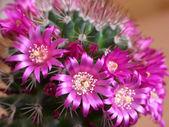 Cactus flowers — Stock Photo