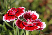 Little carnation — Stock Photo