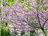 Peach flowers tree — Stock Photo
