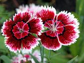 červený a bílý karafiát — Stock fotografie