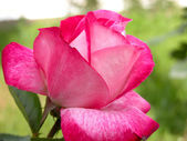 ροζ τριαντάφυλλο — Φωτογραφία Αρχείου